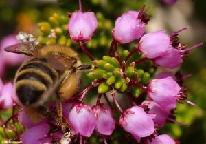 Heather Premium Honey (1)